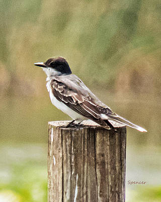 Photograph - Kingbird by T Guy Spencer