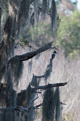 Photograph - Kingfisher And Spanish Moss by Paul Rebmann