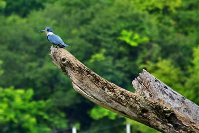 Photograph - Kingfisher by Bibi Rojas