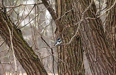 Photograph - Kingfisher by Debbie Oppermann