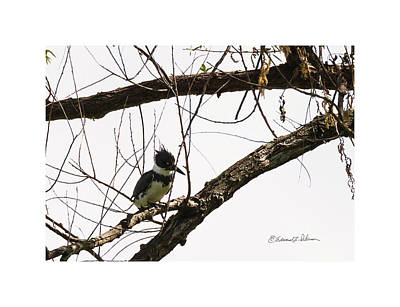 Photograph - Kingfisher Fishing by Edward Peterson