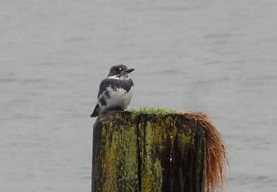 Photograph - Kingfisher In Bellingham by Karen Molenaar Terrell