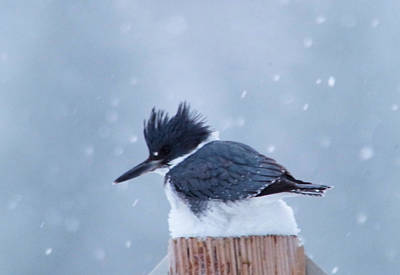 Gelid Photograph - Kingfisher In Snowfall by Jeff Swan