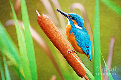 Kingfisher Wall Art - Photograph - Kingfisher by Laura D Young