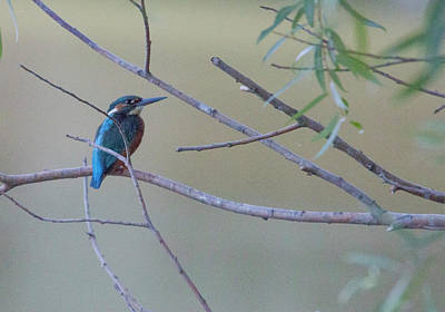 Photograph - Kingfisher by Pietro Ebner