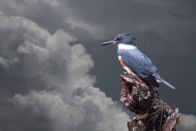 Photograph - Kingfisher Stormy Background by Rosalie Scanlon