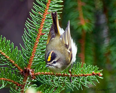 Kinglet In The Pine II Art Print by CR  Courson