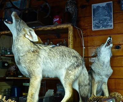 Photograph - Kings Canyon Lodge Coyotes by Amelia Racca