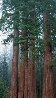 Photograph - Kings Canyon Sequoia Trees by Kyle Hanson