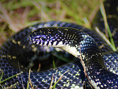 Photograph - Kingsnake Close-up by Kathy Kelly