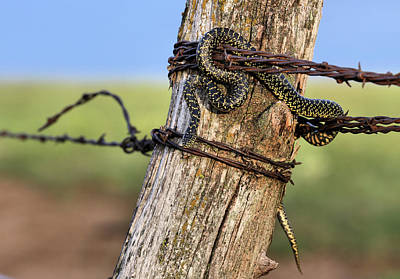 Photograph - Kingsnake On The Kansas Plains by JC Findley