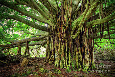 Botanic Photograph - Kipahulu Banyan Tree by Inge Johnsson
