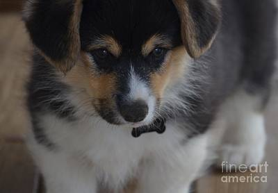 Photograph - Kipper The Corgi by Maria Urso