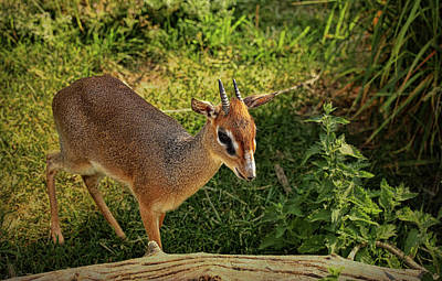Photograph - Kirk's Dik-dik 1 by Judy Vincent