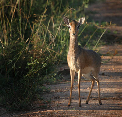 Photograph - Kirks Dik Dik by Joseph G Holland