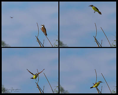 Photograph - Kiskadee Takes Dragonfly, Checkmate - 4974-b,s by Wally Hampton