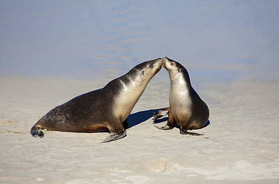 Australian Sea Lion Photograph - Kiss by Mike  Dawson