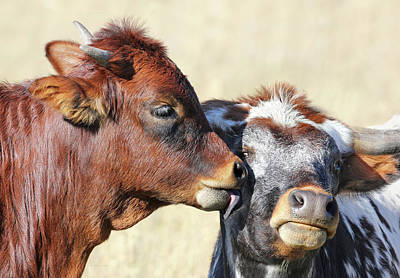 Photograph - Kiss Mom Texas Longhorn Calf by Jennie Marie Schell
