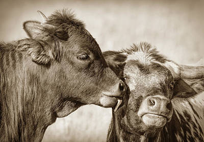 Photograph - Kiss Mom Texas Longhorn Calf Sepia by Jennie Marie Schell