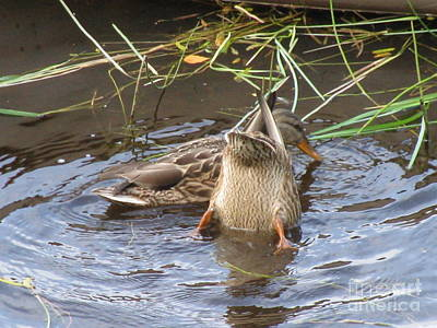 Photograph - Kiss My Duck by Anthony Trillo