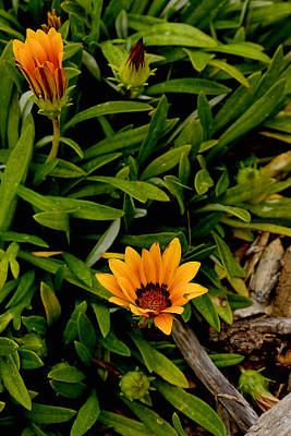 Photograph - Kiss Orange Gazania by Michael Gordon
