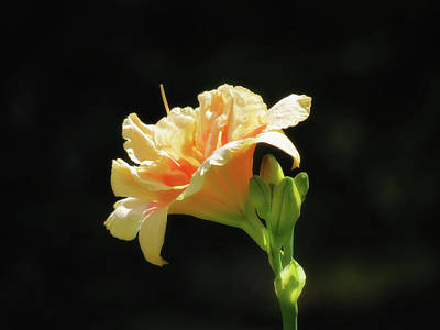 Photograph - Kiss The Sun - Daylily by MTBobbins Photography