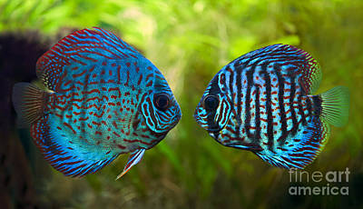 Amazon River Photograph - Kissing Discus Fish by Brandon Alms