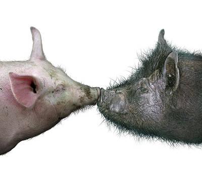 Digital Art - Kissing Pigs by James Larkin