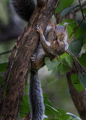 Photograph - Kissing Squirrels by Bill Wakeley