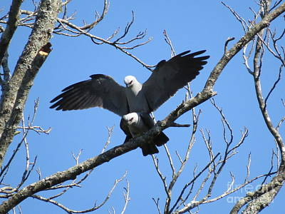 Mississippi Kite Photograph - Kite Delight by Charles Green