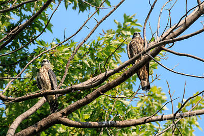 Mississippi Kite Photograph - Kites In A Tree by Richard Smith