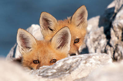 Fox Kit Photograph - Kits by Steve Stuller