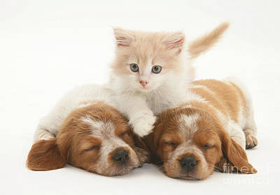 Kitten And Puppies Art Print by Jane Burton