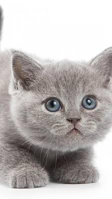 Briton Digital Art - Kitten Briton Look Kid 96414 1080x1920 by Rose Lynn