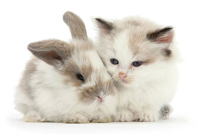 Photograph - Kitten Cute by Warren Photographic