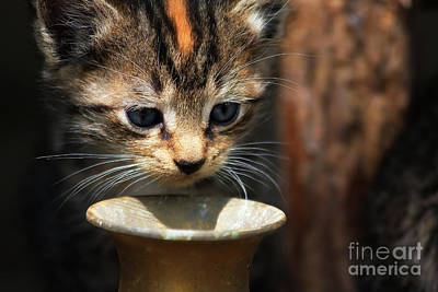 Photograph - Kitten Face by Jill Lang