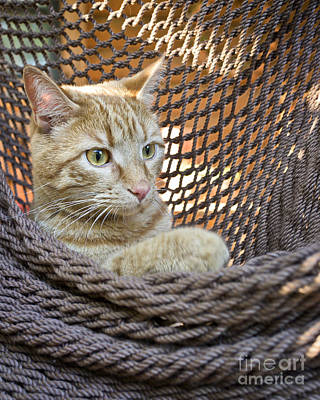 Kitten In A  Hammock Art Print