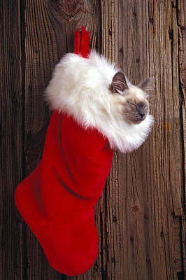 Domesticated Photograph - Kitten In Stocking by Garry Gay