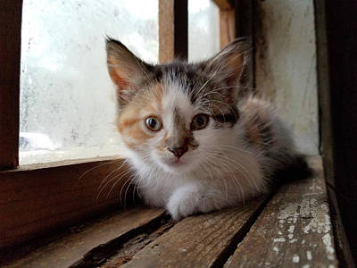 Photograph - Kitten In Window by Brook Burling