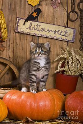 Rustic Barn Interior Photograph - Kitten On A Pumpkin by Jean-Louis Klein & Marie-Luce Hubert