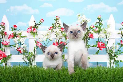 Litter Mates Photograph - Kitten Siamese Sisters by Sheila Fitzgerald