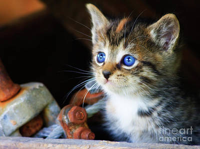 Photograph - Kitten With Blue Eyes by Jill Lang