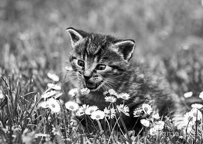 Photograph - Kitten With Daisy's by Jesse Watrous