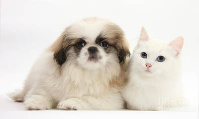 Kitten With Pekinese Puppy Art Print