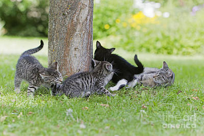 Pet Care Photograph - Kittens And Mom Playing by Duncan Usher