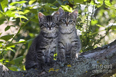 Gray Tabby Photograph - Kittens In A Tree by Jean-Louis Klein & Marie-Luce Hubert