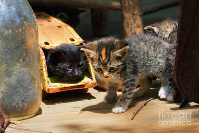 Photograph - Kittens Playing by Jill Lang