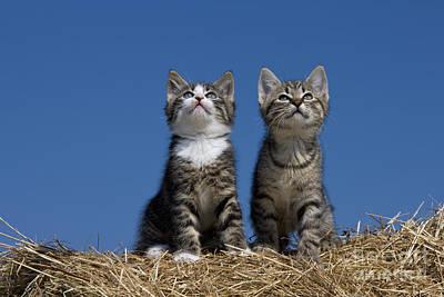 Gray Tabby Photograph - Kittens Watch A Bird by Jean-Louis Klein & Marie-Luce Hubert