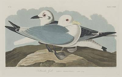 Seagull Drawing - Kittiwake Gull by Dreyer Wildlife Print Collections