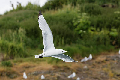 Photograph - Kittiwake On The Move by Gloria Anderson